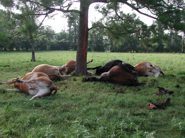 cows killed by lightning